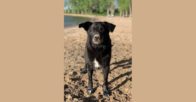 Photo of Cole, a Labrador Retriever, German Shepherd Dog, American Pit Bull Terrier, Collie, and American Eskimo Dog mix in Vermillion, South Dakota, USA