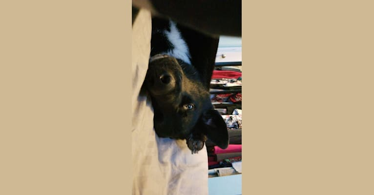 Photo of Hercules, a Siberian Husky and Labrador Retriever mix in Toledo, Ohio, USA
