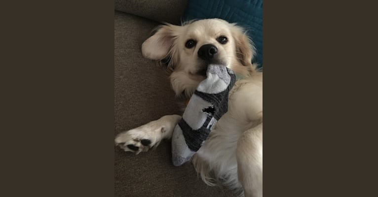 Photo of Casey, a Cocker Spaniel and Pomeranian mix in Austin, Texas, USA