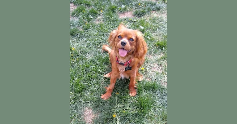 Photo of Zoey Belle Dominguez, a Cavalier King Charles Spaniel  in South Dakota, USA