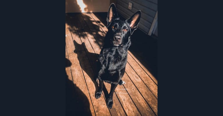 Photo of Lilly, a German Shepherd Dog  in Noblesville, Indiana, USA