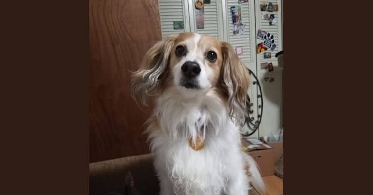 Photo of Andy, a Cocker Spaniel, Chihuahua, Poodle (Small), and Mixed mix in Wenatchee, Washington, USA