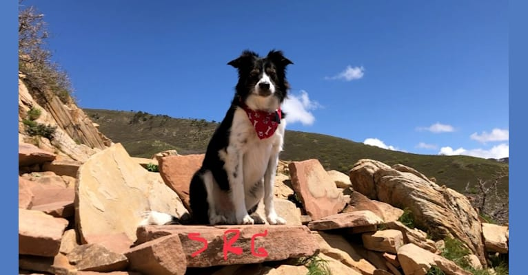 Photo of Buddy, a Border Collie