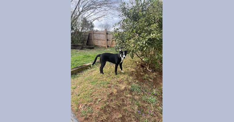 Photo of Gibby, a Border Collie and Chinese Shar-Pei mix in Union County, TN, USA