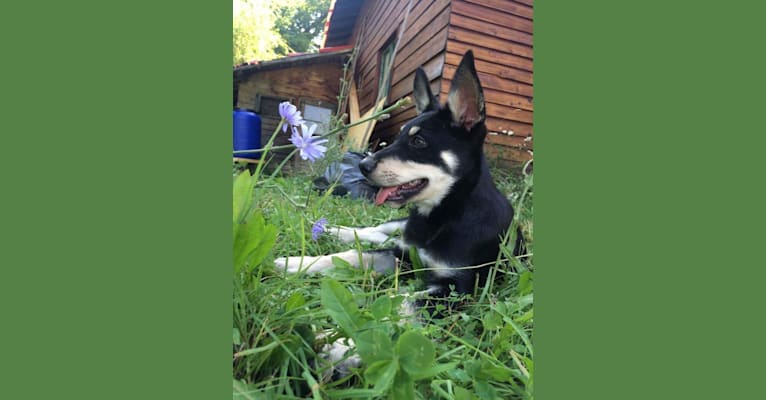 Photo of Bombao, an Eastern European Village Dog  in Voluntari, Ilfov County, Romania