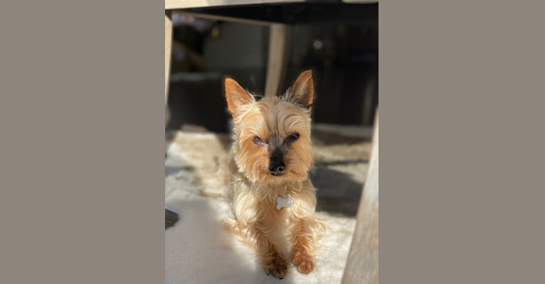 Photo of Joey, a Silky Terrier