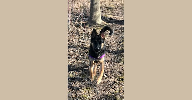 Photo of Moxy, a German Shepherd Dog and Australian Cattle Dog mix in Middlebury, Indiana, USA