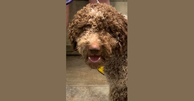 Photo of Odin, a Lagotto Romagnolo  in Summerfield, Florida, USA