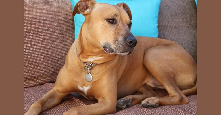 Photo of Charlie, an American Pit Bull Terrier and Rottweiler mix in Los Angeles, California, USA