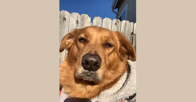 Photo of Teeddy, a Golden Retriever, Australian Cattle Dog, Chow Chow, and Mixed mix in Grapevine, California, USA