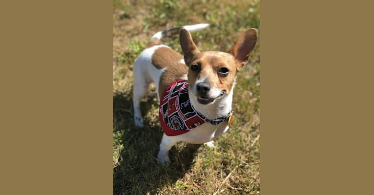 Photo of Kevin, a Rat Terrier  in Columbia, South Carolina, USA