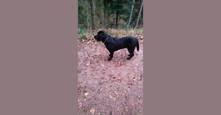 Photo of Tabasco, a Labrador Retriever