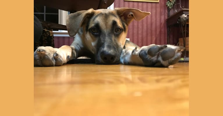 Photo of Riley, a German Shepherd Dog, American Pit Bull Terrier, and Mixed mix in Alabama, USA