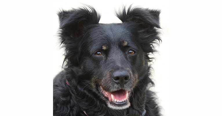 Photo of Jewel, a Chow Chow, Rottweiler, American Pit Bull Terrier, and German Shepherd Dog mix in Los Angeles, California, USA