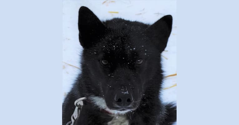 Photo of Fraser, a Siberian Husky  in 1431 County Road A, Phelps, WI, USA
