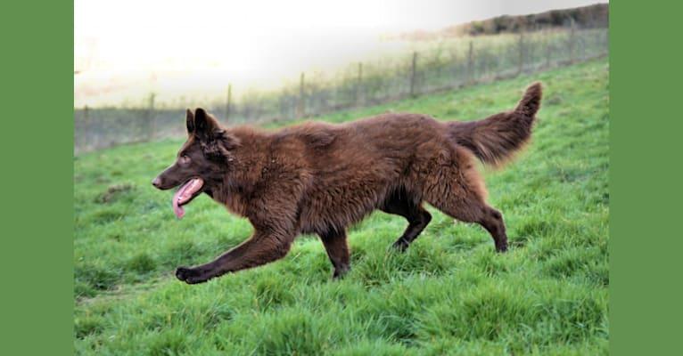 Photo of Sienna, a German Shepherd Dog