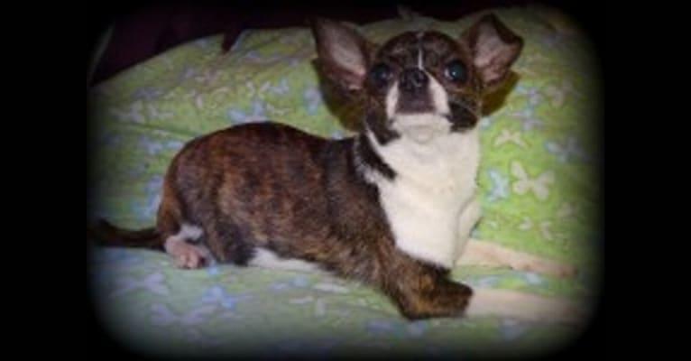 Photo of Hazelnutty, a Chihuahua