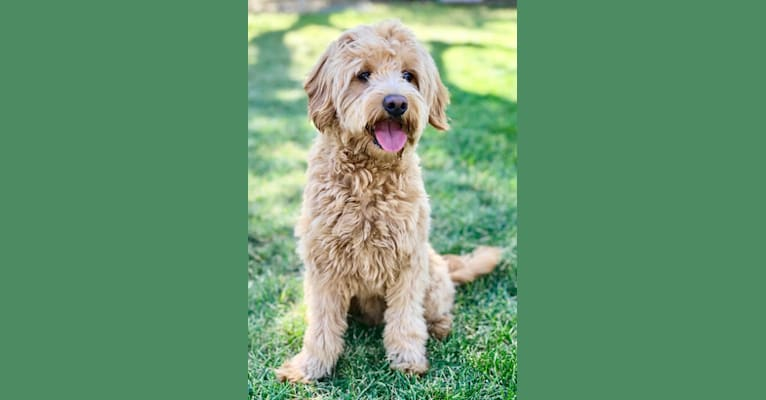 Photo of Knox, a Goldendoodle