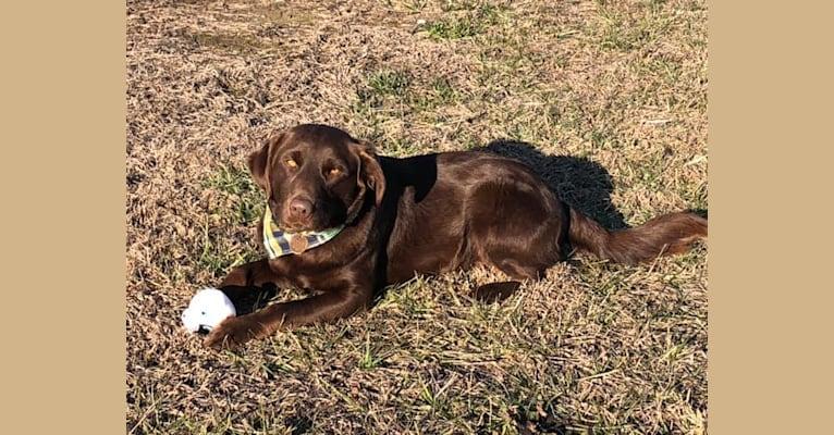 Photo of Hank, a Goldador  in Albertville, Alabama, USA