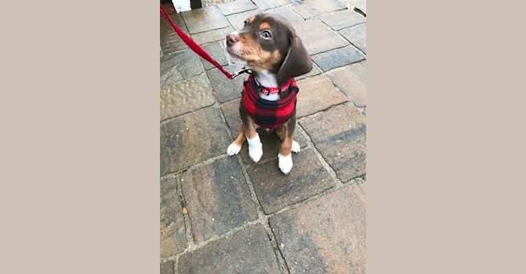 Photo of Beowulf, a Miniature Pinscher and Beagle mix in Williamsburg, VA, USA