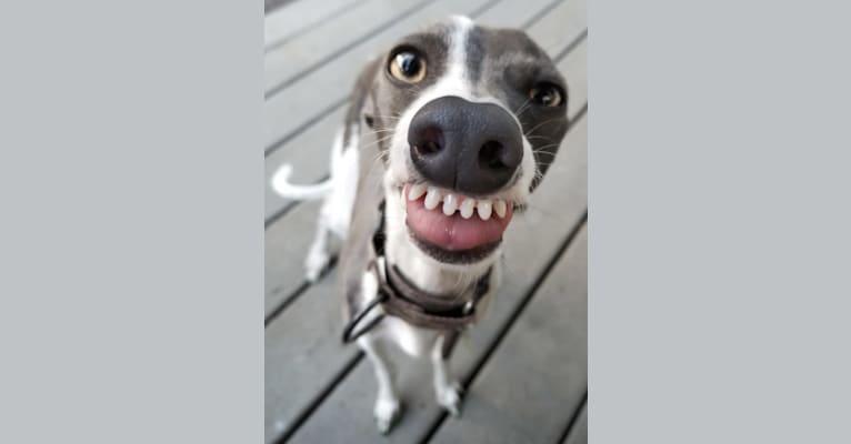 Photo of Bonedaddy Bowie, an Italian Greyhound  in Molalla, OR, USA