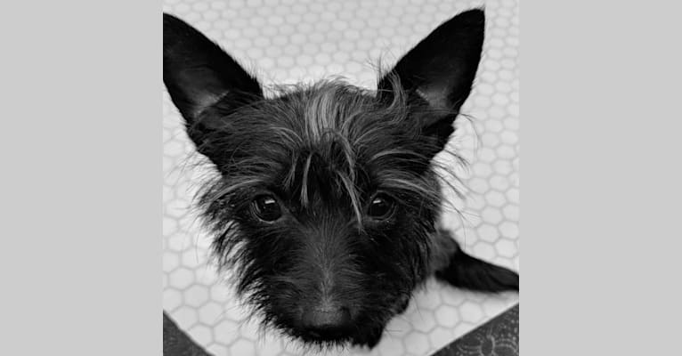 Photo of Cordelia, a Rat Terrier, Poodle (Small), Chihuahua, Pomeranian, and Yorkshire Terrier mix in California, USA
