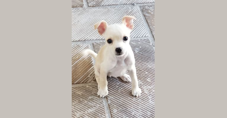 """Photo of Benito (""""Beni""""), a Chihuahua, Poodle (Small), and Mixed mix in Torreón, Coahuila, Mexico"""