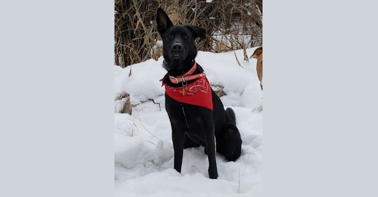 Photo of Vader, a German Shepherd Dog, Australian Cattle Dog, American Pit Bull Terrier, and Chow Chow mix