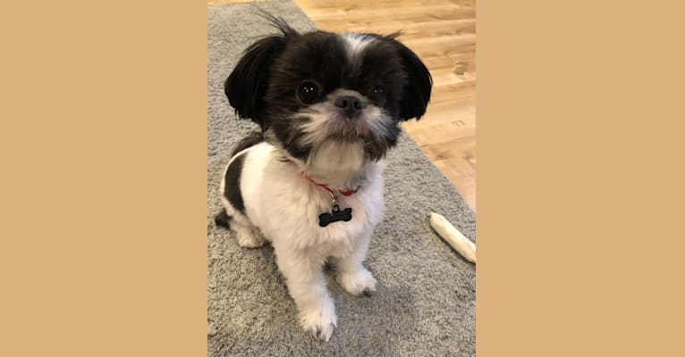 Photo of Benny, a Shih Tzu and Chihuahua mix