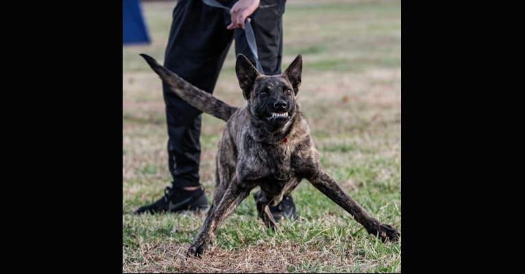 Photo of Jinx Van Patriot, a Dutch Shepherd and German Shepherd Dog mix