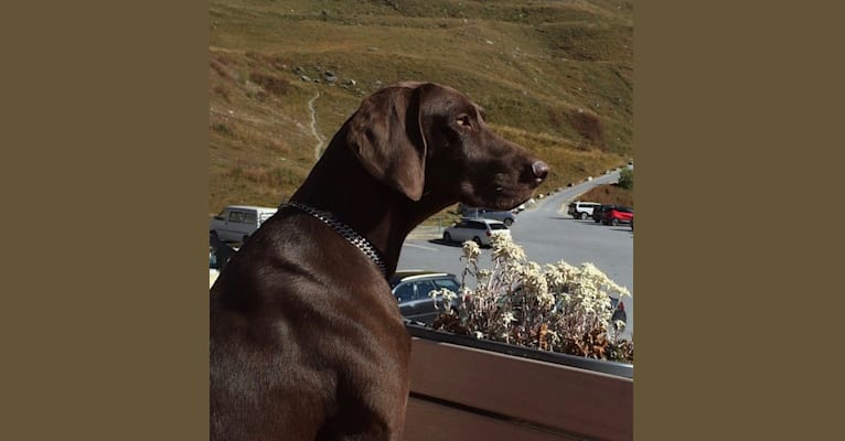 Photo of Boudji, a Weimaraner and German Shorthaired Pointer mix in Broc, Suisse