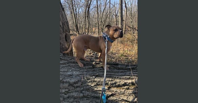 Photo of Luther, an American Bully  in Chicago, Illinois, USA