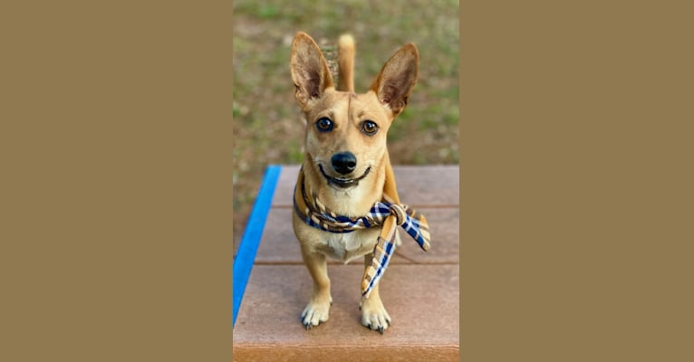 Photo of Finn, a Chihuahua, Bichon Frise, Russell-type Terrier, Pug, and Mixed mix in Georgia, USA