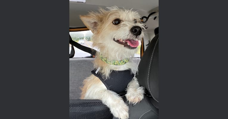 Photo of Finnick, a Poodle (Small), Chihuahua, American Eskimo Dog, Russell-type Terrier, and Lhasa Apso mix