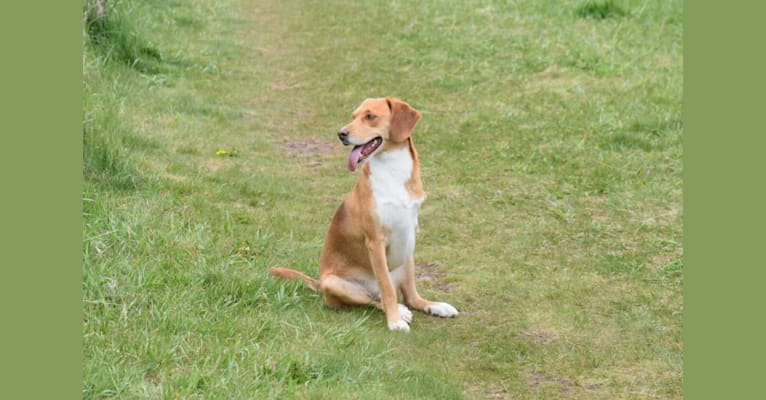 Photo of Lu, a Beagle, American Foxhound, and Siberian Husky mix in Missouri, USA