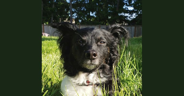 Photo of Bugsy, a Shih Tzu, Maltese, Poodle (Small), Russell-type Terrier, and Chihuahua mix in Bay City, Michigan, USA