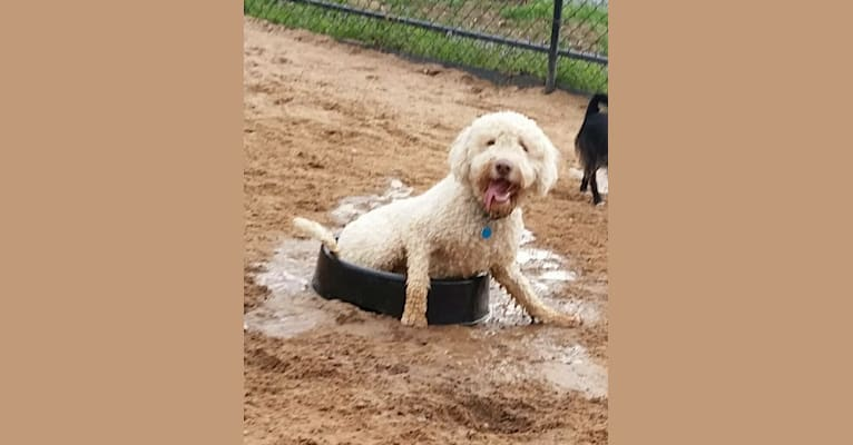 Photo of Snickers, a Lagotto Romagnolo