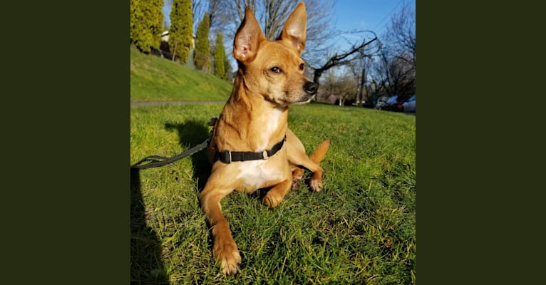 Photo of Rupert, a Chihuahua, Australian Cattle Dog, and Mixed mix in Houston, Texas, USA