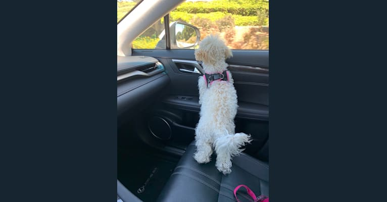 Photo of Molly, a Bichonpoo (29.3% unresolved) in Rancho Cucamonga, California, USA