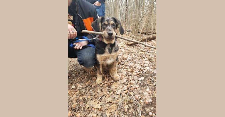 Photo of Cyrus, a German Shepherd Dog, Catahoula Leopard Dog, Australian Shepherd, Labrador Retriever, and Golden Retriever mix in Arkansas, USA