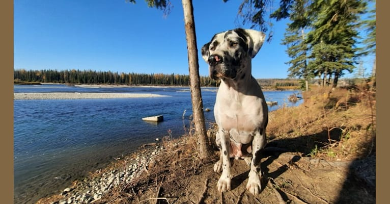 Photo of Moose, a Great Dane, American Bulldog, and American Bully mix in Barrhead, AB, Canada
