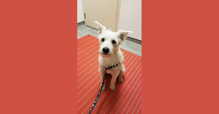 Photo of Comet, a Miniature Schnauzer, Great Pyrenees, and Australian Cattle Dog mix in Texas, USA