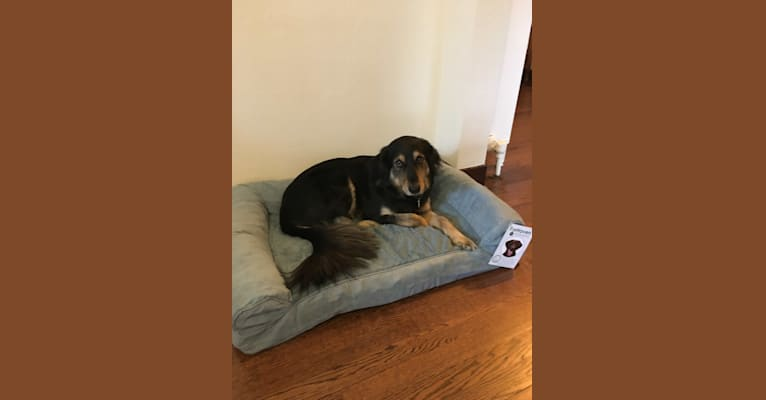 Photo of Luna, a Siberian Husky, Labrador Retriever, Dachshund, Beagle, and Mixed mix in New York, USA