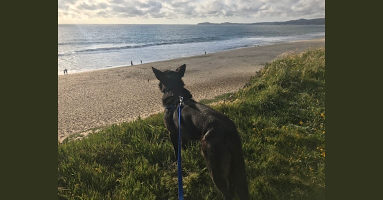 Photo of Marty, a German Shepherd Dog and Australian Cattle Dog mix in Half Moon Bay, California, USA