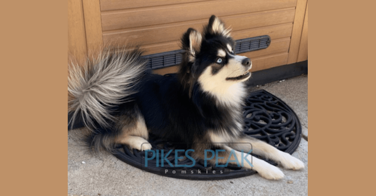 Photo of Rush, a Siberian Husky, Pomeranian, and American Eskimo Dog mix in Crandall, Indiana, USA