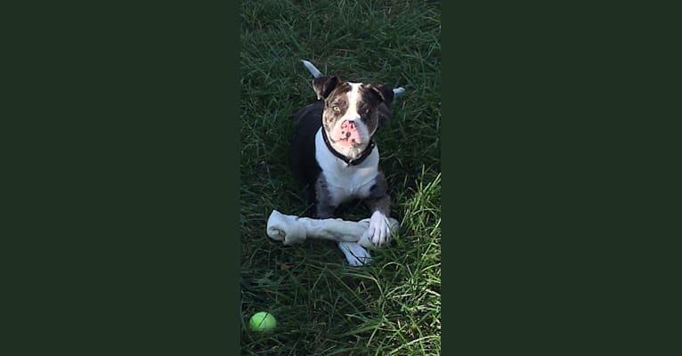 Photo of Queen's Reign, an American Bulldog  in Pontiac, Michigan, USA