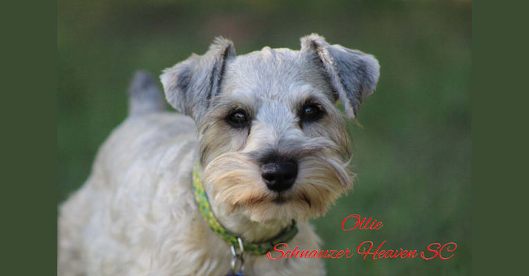 Photo of Heaven's Ollie Von Longbach, a Miniature Schnauzer  in Utah, USA