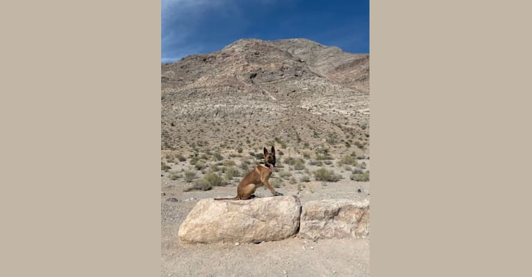 Photo of Mugsy, a German Shepherd Dog, Belgian Malinois, and American Pit Bull Terrier mix in Las Vegas, Nevada, USA