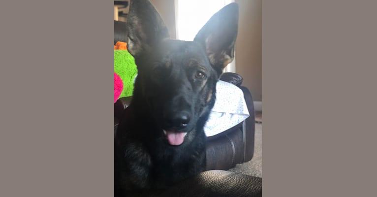 Photo of Dusa, a German Shepherd Dog  in 9962 Weaver Road, Utica, OH, USA