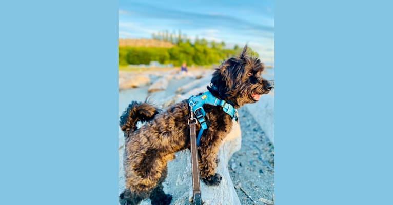 Photo of Moe, a Poodle (Small), Bichon Frise, and Chihuahua mix in Bonney Lake, Washington, USA